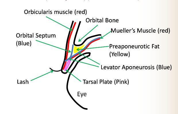 asian double eyelid anatomy