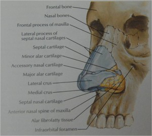 Nasal bones and anatomy